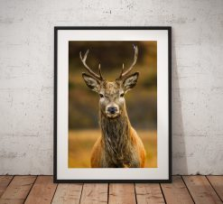 Northern Wild Landscape Photography - Stag Deer Scottish Highlands, Wildlife Scotland