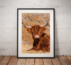 Northern Wild Landscape Photography - Cute Highland Cow Scottish highlands, Scotland UK