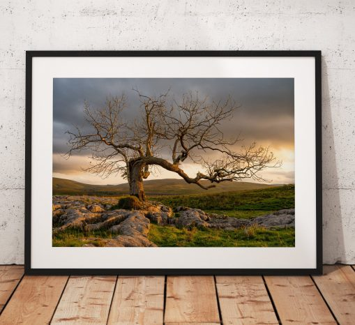 Beautiful Lone tree photograph showing the warm sunrise glow in the Yorkshire Dales. England, Fine Art, Home Decor