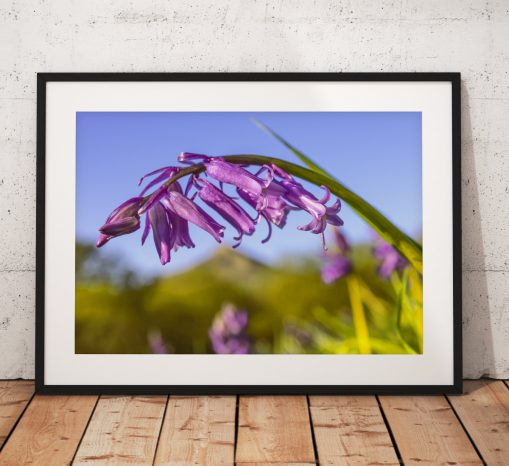 Bluebell closeup Photography. wildflowers, Roseberry Topping North York Moors, England. Landscape Photography. Mounted print. Wall Art.