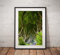 Photo of the Dark Hedges as featured in The Game of Thrones fantasy.  The dramatic twisted avenue of beech trees in Ballymoney, Ireland.