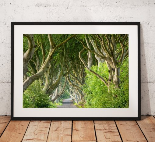 Photograph of the Dark Hedges as featured in The Game of Thrones fantasy. The dramatic twisted avenue of beech trees in Ballymoney, Ireland.
