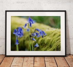 Wild Flower Photography, Bluebells, lake District, Moss, Woodland, Purple, Nature, Blue, England. Landscape Photo. Mounted print. Home Decor