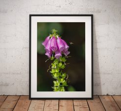 Wild Flower photography, Foxgloves, Nature, Insects, Teesdale, Durham, Nature, England, Landscape Photo. Mounted print. Wall Art, Home Decor